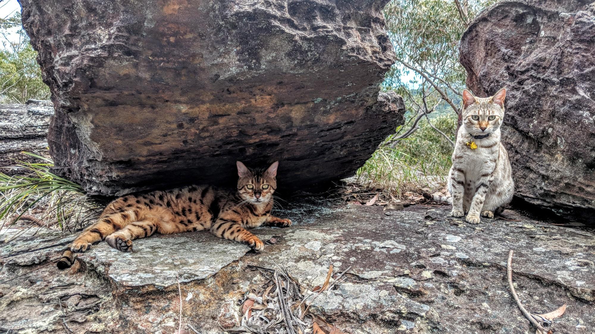 Adventure Catsultant - Lynx & Alfie - pride rock